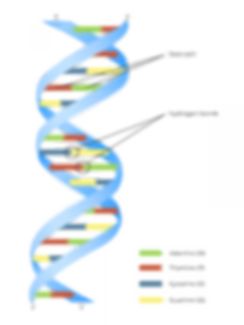 dna_double_helix_yourgenome.png