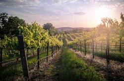 vineyards at sunrise