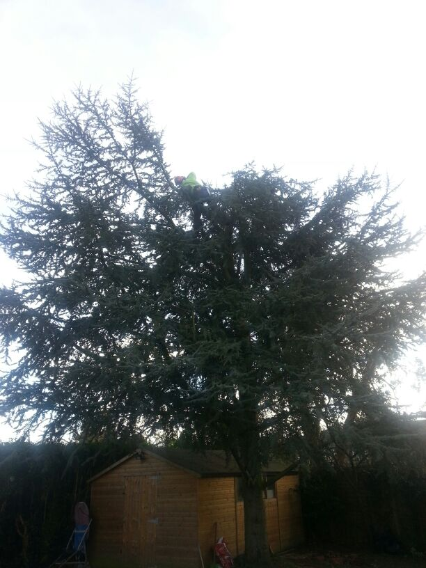 Previously 'topped' Cedar started