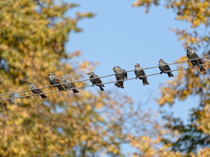 starling-on-wires.jpg