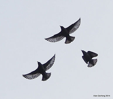 starlingsinflight.jpg