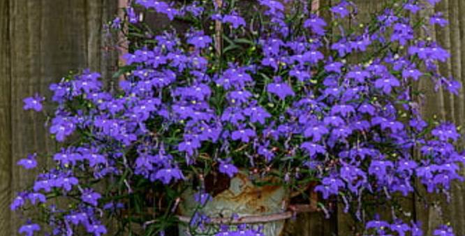Hanging Flowering Plant