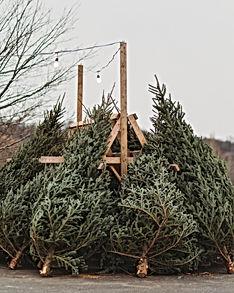 Fresh Cut Christmas Trees.jpg