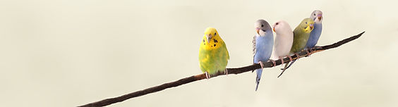 Perroquets sur une branche
