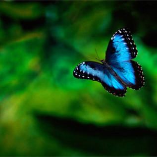 24-Blue Morpho Butterfly.jpg