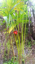 9 flowering palm.jpeg