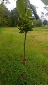 6 bananas 1.jpeg