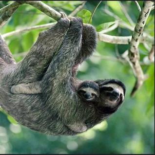20-Sloth w baby.jpg