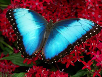 4 Blue Morpho Butterfly 2.jpg