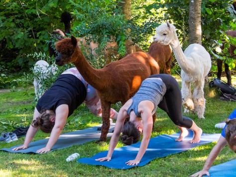 Ab Sommer 2021: Alpaka Yoga in Maur