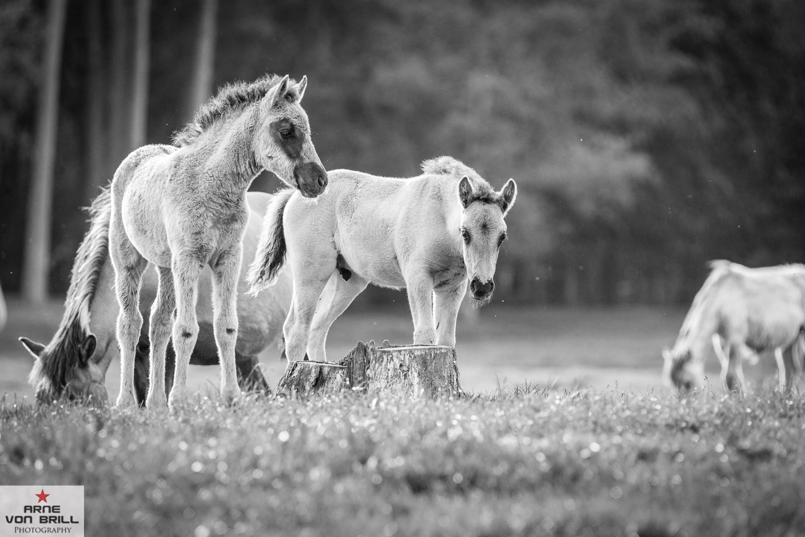 Wildpferde Dülmen