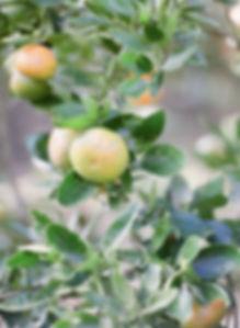 Green Mandarin Fruit