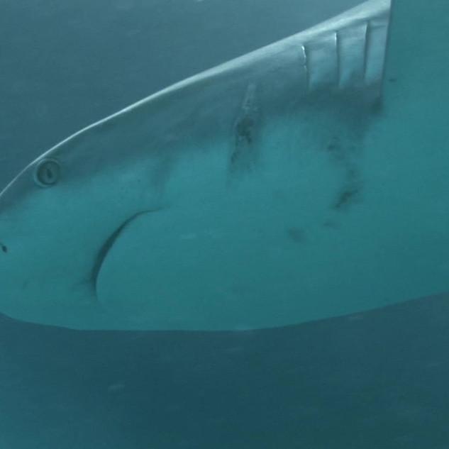 reef shark.mp4
