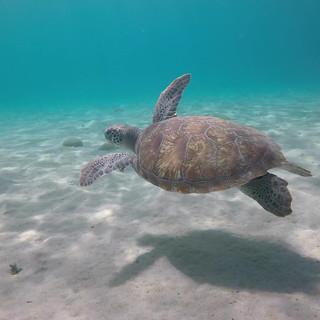 Turtle_Curacao.mov