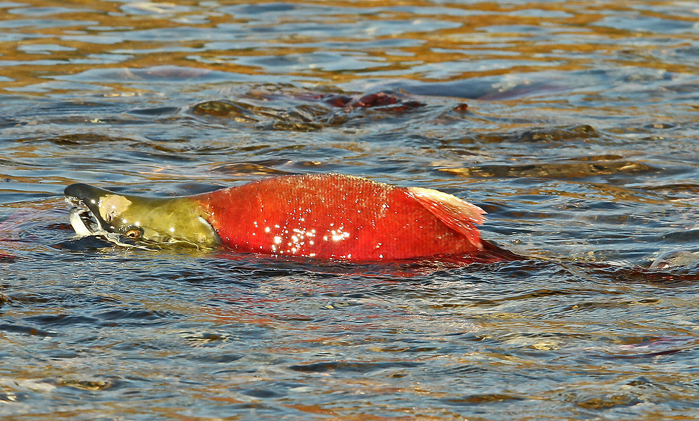 Exhausted male Sockeye Salmon with the distinct parrot peek mouth and the hump.