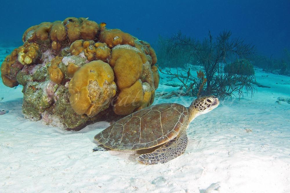 Juvenile Green Turtle rests at sandy bottom.