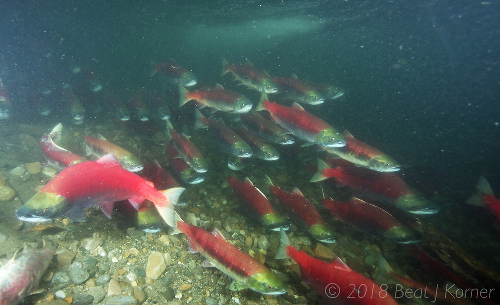 A shoal of resting Sockeyes use a back-eddy to get a break.