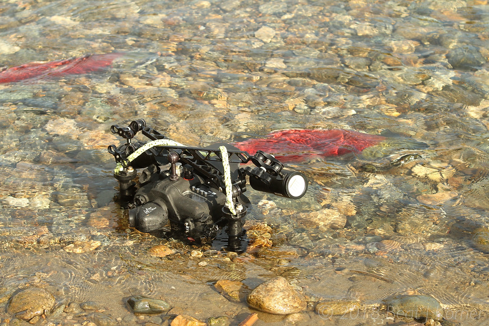 The author's camera set to film and taking images of the salmon in very shallow water.