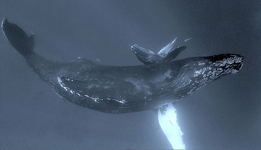 Humpback mother and its calf hug each other.