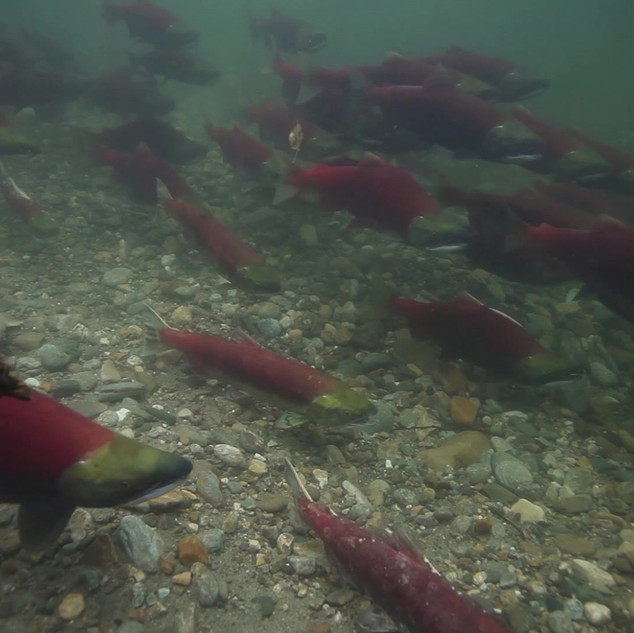 ARSS_shoal_salmon.mp4
