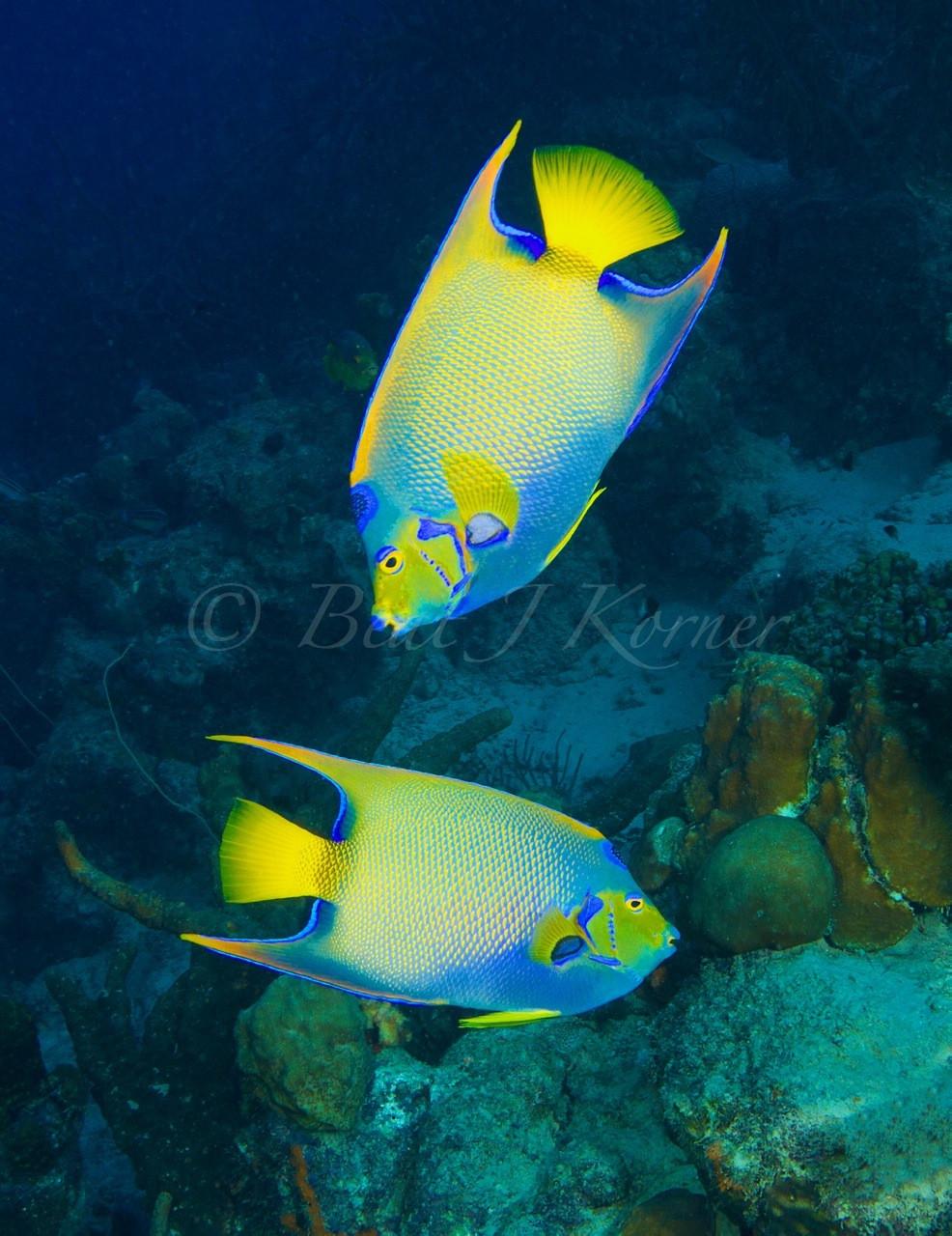 Queen Angelfish are often seen around Bonaire.
