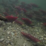 ARSS_pool_salmon.mp4