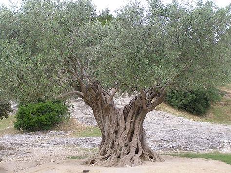 alberi-di-ulivo_NG1.jpg