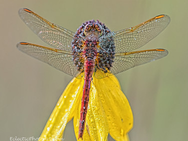 Dragonfly on Flower