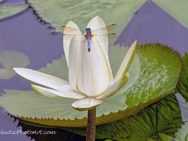 Dragonfly on Waterlily