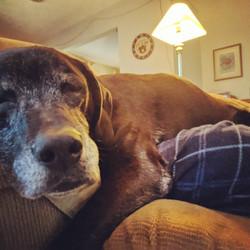 80 Pound Lap Dog