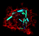 iRFP Macrophage.png