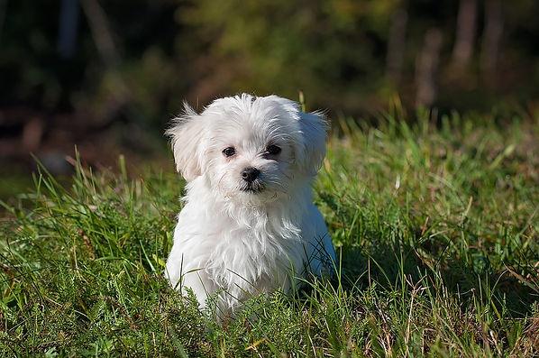 מלטז בדשא MALTESE DOG