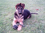 Bessie_the_German_Shepherd_puppy_(2006).
