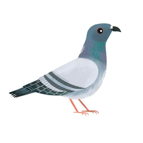 Pigeon 1.jpg