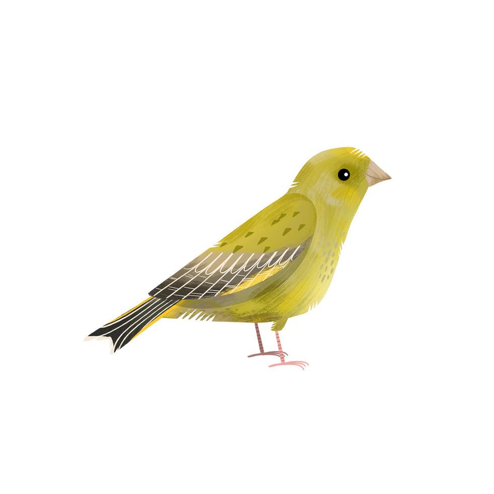 Greenfinch 1.jpg