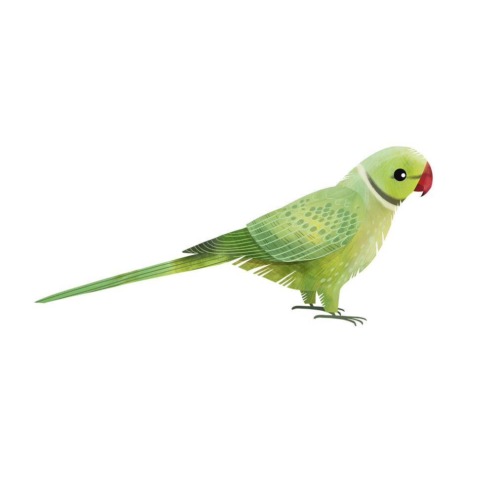 Ring Necked Parakeet.jpg