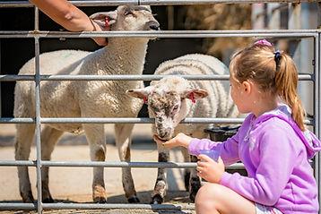 little-cute-girl-feeding-sheep-on-a-farm