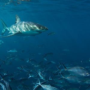 Sharks and Leafy Sea Dragons, South Australia