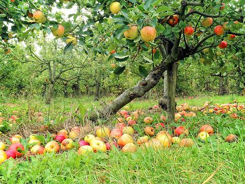 fallen_apple_lite.jpg