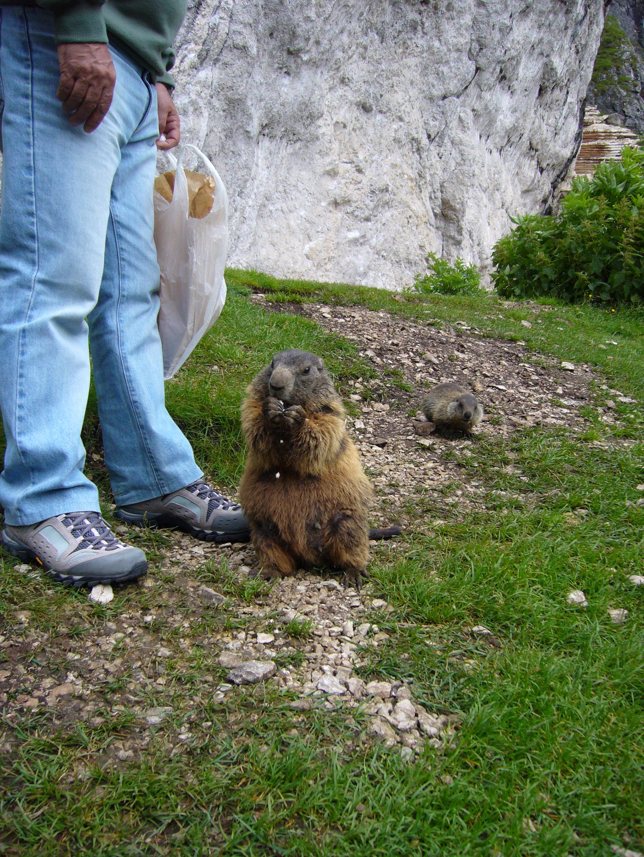 Amichevoli marmotte