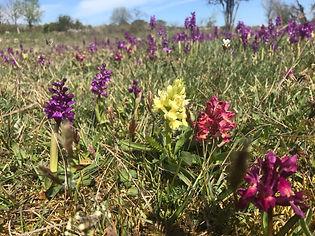Öländska orkidéer L