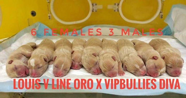 Oro x VIP Bullies Diva