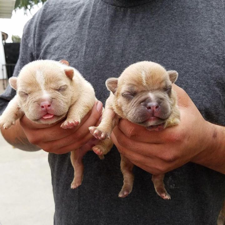 Some puppies off Oro 2nd Litter at 7 day