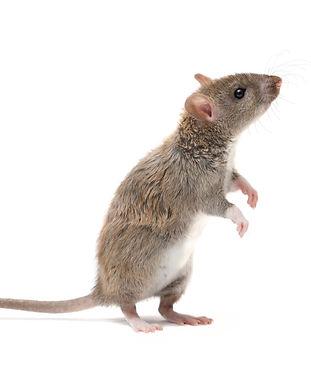 closeup young rat   (Rattus norvegicus)