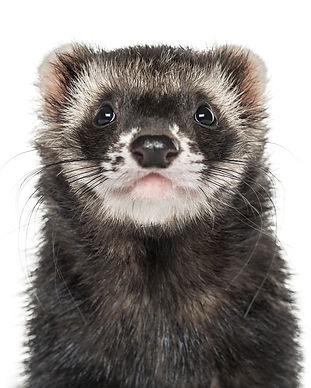 Close-up of a ferret, isolated on white.