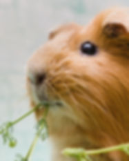 Portrait of red guinea pig. Close up..jp