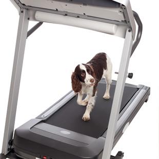 Cute dog walking on treadmill isolated a