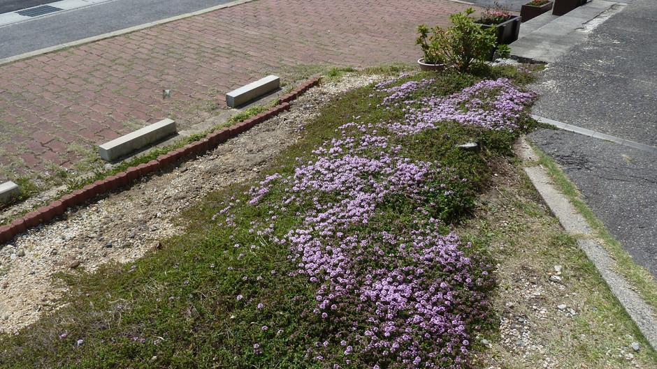 クリーピングタイムの咲く季節になりました!