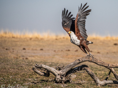 African Fish Eagle on Take Off