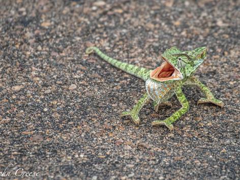 Aggressive Chameleon